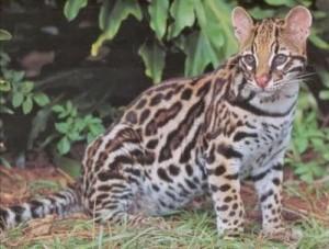Ciri Ciri Kucing Hutan