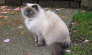 kucing-persia-himalaya
