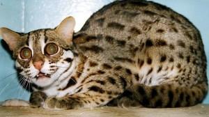 Bulu Kucing Hutan