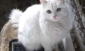 makanan-kucing-anggora