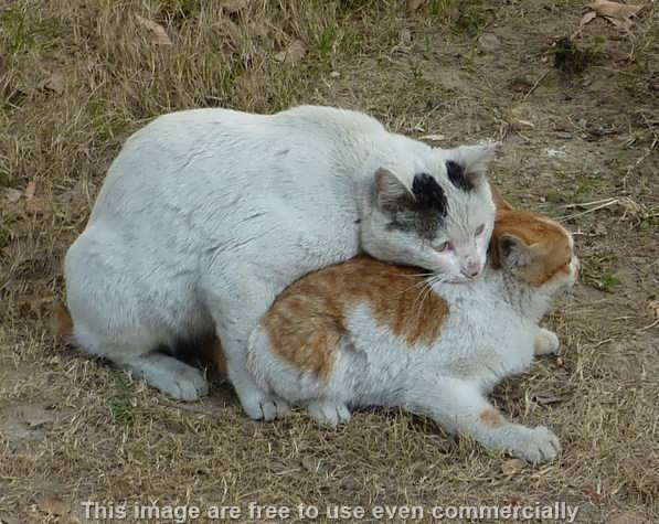 Berapa Umur Kucing Jantan Betina siap Kawin