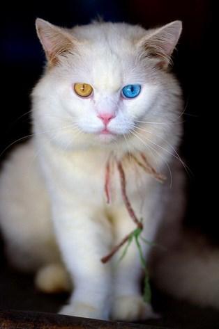 Ciri Kucing Anggora Asli