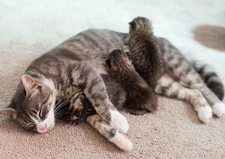 Kenapa Kucing Tidak Mau Menyusui Anaknya