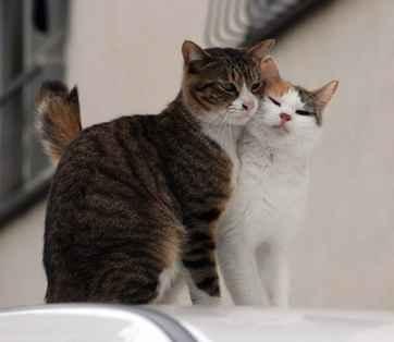 Manfaat Kebiri Steril Kucing
