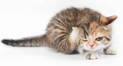 Menghilangkan Kutu Pada Anak Kucing