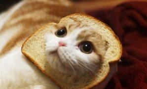 Bolehkah Kucing Makan Nasi atau Roti