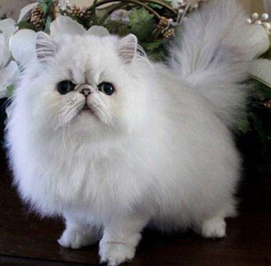Cara Merawat Kucing Persia Hamil