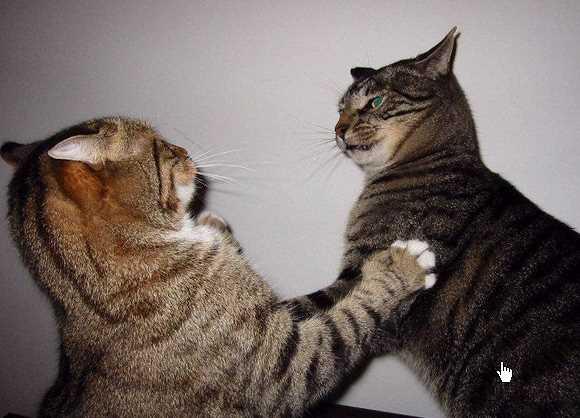 Kucing Berantem Pertanda Apa