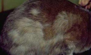 Penyebab Bulu Kucing Rontok Berlebihan