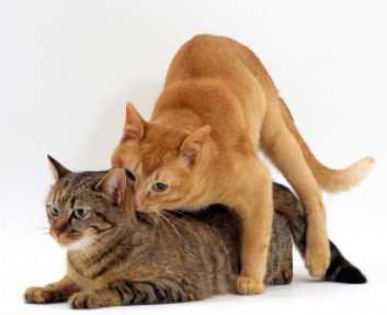 Ciri Ciri Kucing Betina Mau Kawin