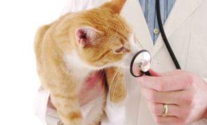Cara menjaga kesehatan kucing persia
