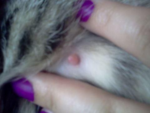 Ciri Ciri Kucing Persia Hamil