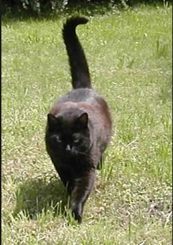 Mengapa Ekor Kucing Bengkok