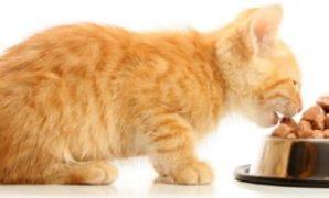Mengatasi Anak Kucing Tidak Mau Makan