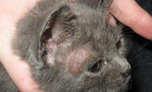 ciri ciri kucing jamuran