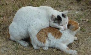Cara Mengawinkan Kucing Yang Galak