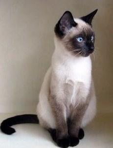 Kelebihan Kucing Siam Dibanding Kucing Lainnya