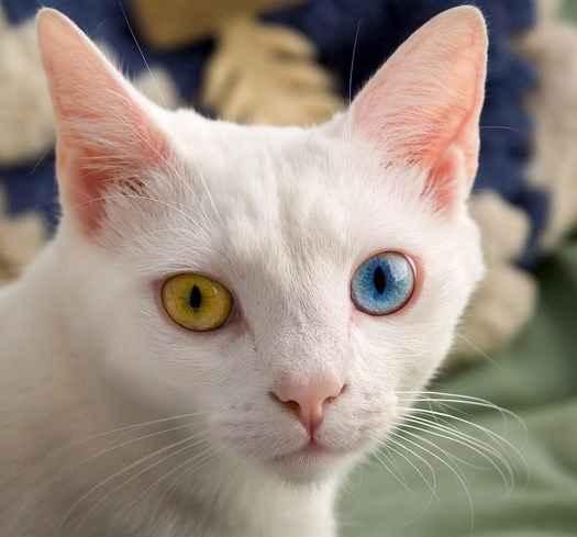 ciri-mata-kucing-anggora