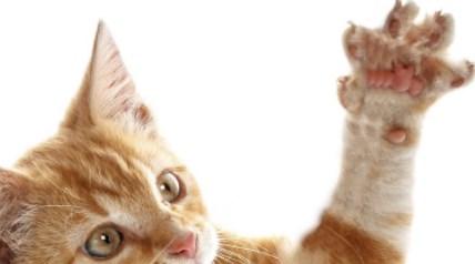 Mengapa Kucing Suka Mencakar Benda Di Rumah
