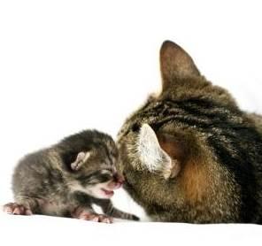 Perilaku Kucing Setelah Melahirkan