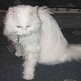 umur-kucing-anggora
