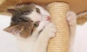 Kucing Yang Suka Mencakar Perabot Rumah