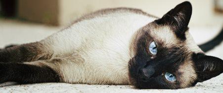 Fakta Tentang Kucing Siam Yang Wajib Diketahui Tips Kucing
