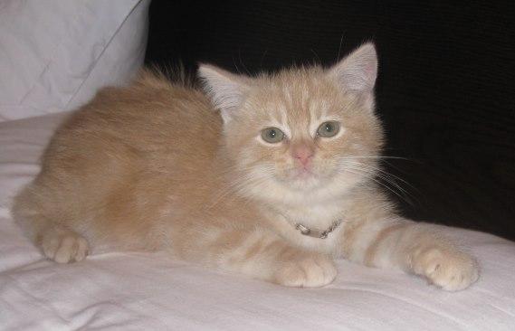 Kucing Persia umur 3 bulan