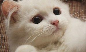 kucing persia 3 bulan lucu