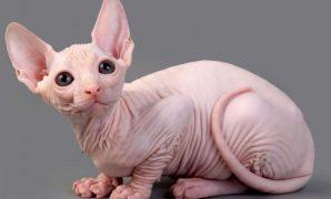 ciri ciri kucing Sphynx