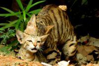 Foto kucing kawin