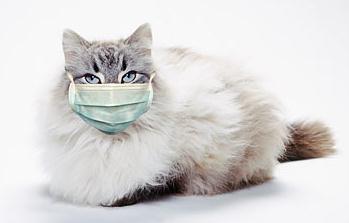 Cara Mengobati Kucing kena Flu