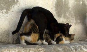 Tanda Tanda Kucing Jantan Mau Kawin