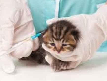 Vaksin Untuk Anak Kucing