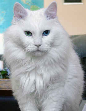 Download 97+  Gambar Kucing Anggora Turki Terlihat Keren Gratis