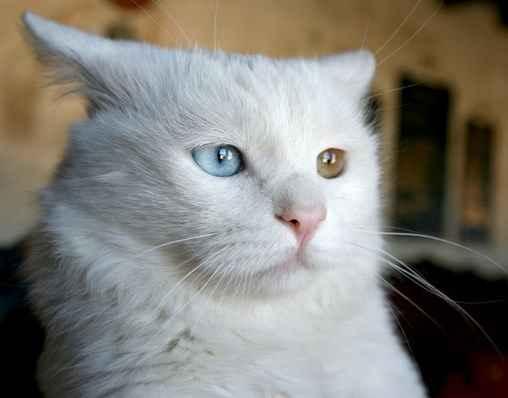 ciri-sifat-kucing-anggora