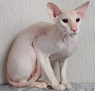 Ciri Kucing Peterbald