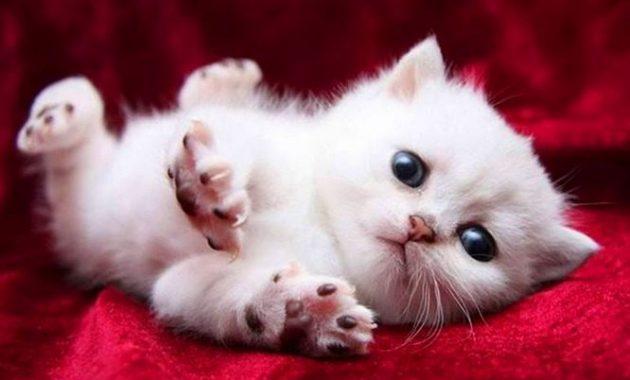Jenis Anak Kucing Anggora