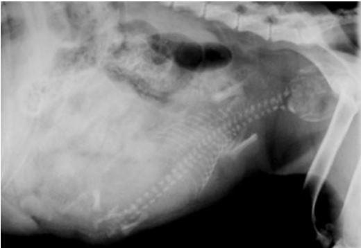X-ray masa kehamilan kucing