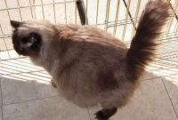 ciri kucing persia hamil