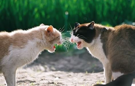 suara kucing berantem