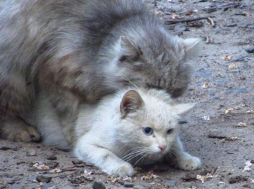 suara kucing ingin kawin