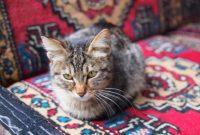 Nama Kucing Nabi Muhammad