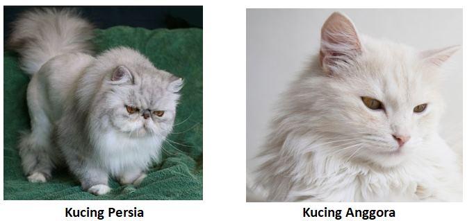 perbedaan bulu kucing persia dan anggora