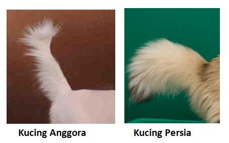perbedaan ekor kucing anggora dan persia