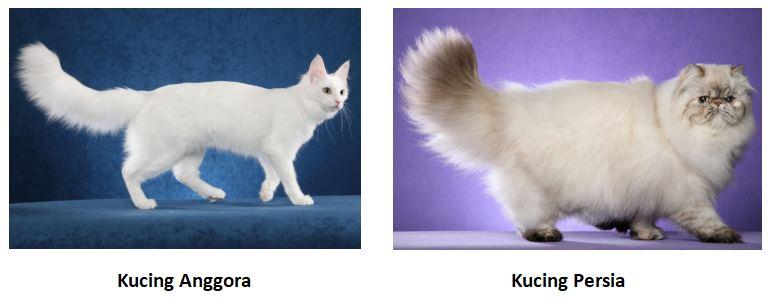 perbedaan tubuh kucing anggora dan persia