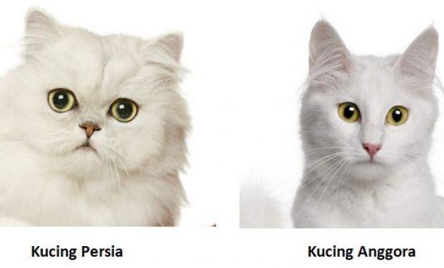 perbedaan wajah kucing persia dan anggora