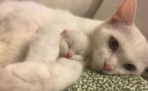 Anak Kucing Anggora Baru Lahir
