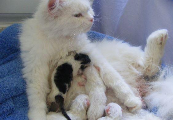 Anak Kucing Persia Baru Lahir