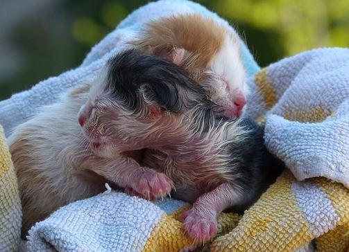Cara Merawat Anak Kucing Yang Baru Lahir